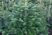 Jodła Kaukaska / Idealne drzewko świąteczne