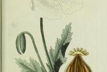 Scientific Drawing - Plantas