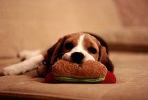 beagle beagle....