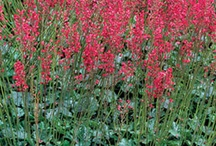 Heuchera / by Growing The Home Garden