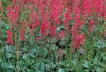 Heuchera / by Growing The Home Garden