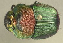 UF/IFAS Pinned Insects / These insects are a great addition to any Pinterest board. What says you had a good day pinning like sharing a pinned insect with a friend.