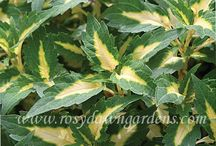 New Coleus for 2015 / New cultivars added to the 2015 Rosy Dawn Gardens online catalog.