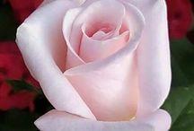 V. Rózsa