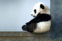 Panda is my weekness