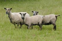 Sheep / Who doesn't love these wooly animals? These breeds have all been used in our yarn.