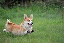 """My dog """"Monty"""" / welsh corgi pembroke"""
