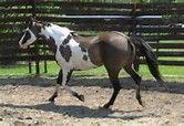 Grullo Paint Horse