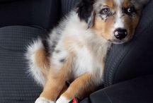Australian Shepherd / Australian Shepherd dog breed pictures