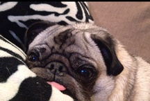 Pugs and more Pugs / by Jacalyn Hughes