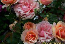 Italian Roses / Stories of Italian Roses