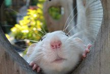 Rats ❤