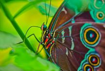 Flutter By Butterfly! / Celebrating the beauty and diversity  in butterflies and moths.  / by Animal Muse: Cathy Currea