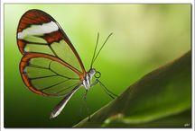 Papillons/Butterflies / Des papillons, rien que des papillons