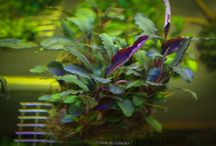 Bucephalandra Australia - Exoaquaristic.com.au / Bucephalandra Australia