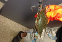 CRABS / STEAMED MARYLAND CRABS ! NEXT DAY SHIPPING AVAILABLE
