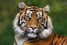 Tygr a jiní mazlíci