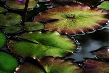 Lotus Flower / My favorite flower!
