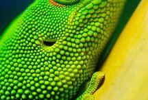 ~ Geckoes & Lizards ~