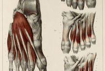 Anatomic Foot
