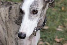 Greyhounds are Greyt!