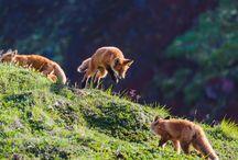 FP fox
