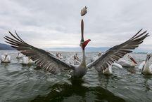Dalmatian Pelicans, Kroeskop-pelikaan / Kroeskop-pelikanen in Lake Kerkini, Griekenland