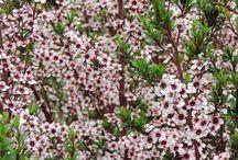 PLANT - NZ NATIVE
