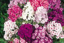 Květiny (Phlox, aeoniun aj.)