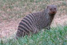Animals:  Mongoose, Weasels