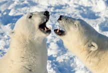 Tapety - zwierzęta - niedźwiedzie - polarne