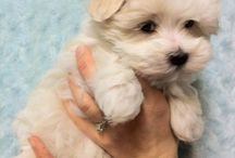 Havanese dog / Cute and so adorable