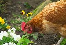 chickens / by julieann murrell