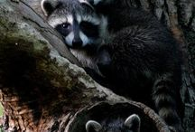 racoons ans small furry animals