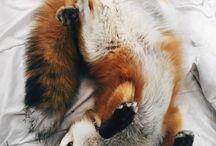 foxeły