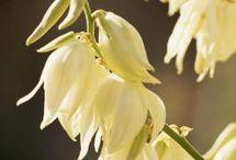 propagate yuccas