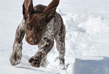 German shorthaired pointer!!