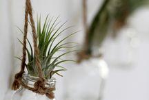 Luftpflanzen / Tillandsien, auch Luftpflanzen oder Luftwurzeln genannt, sind kleine pflegeleichte Pflanzen aus Südamerika mit denen du so einiges anstellen kannst. Hier ein paar Ideen!