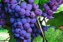 Grape vines / by Brenda Young