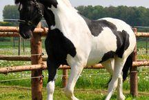 Barock Pinto horses / Barock Pinto Studbook horses friesian x warmblood