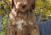 Oodles of Doodles / Photos of my favorite dog breed