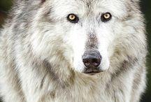 lední vlci a vlci