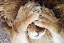Lions and jungle stuff