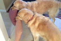 Labs and goldens / by Bette