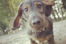 Dachshund / Our beautiful miniature dachshund Sulo.