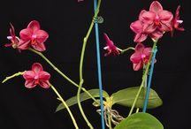 Phalaenopsis hybr