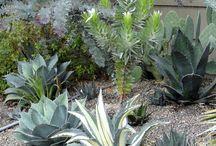 Plant Lust: Leucadendron argenteum