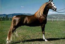 Les chevaux Tennesses Walkers / Voici, une race très noble ...
