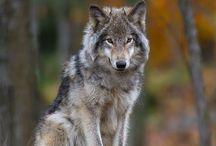 Cute wolfes