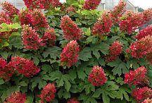 Hydrangeas - Shades of Red